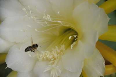 20131130_0812_4953 epiphyllum and bee