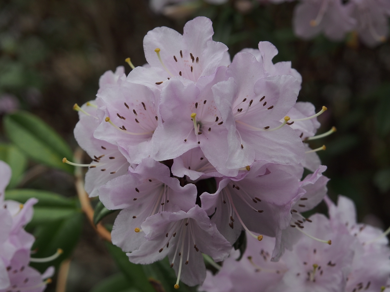 20130914_1425_2757 rhododendron
