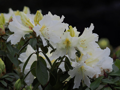 20130914_1626_2829 rhododendrons