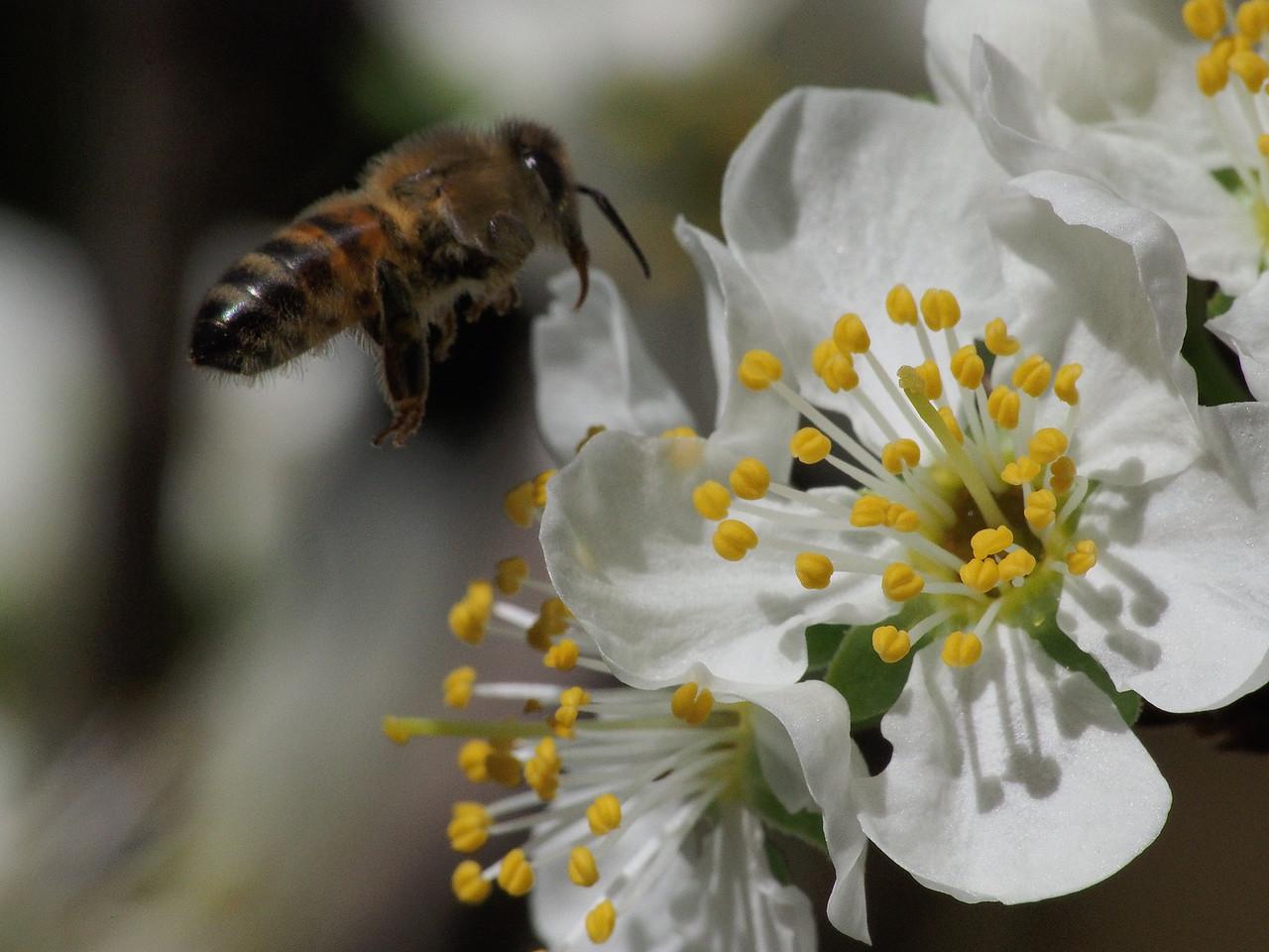 20130907_1316_1363 plum blossom bee