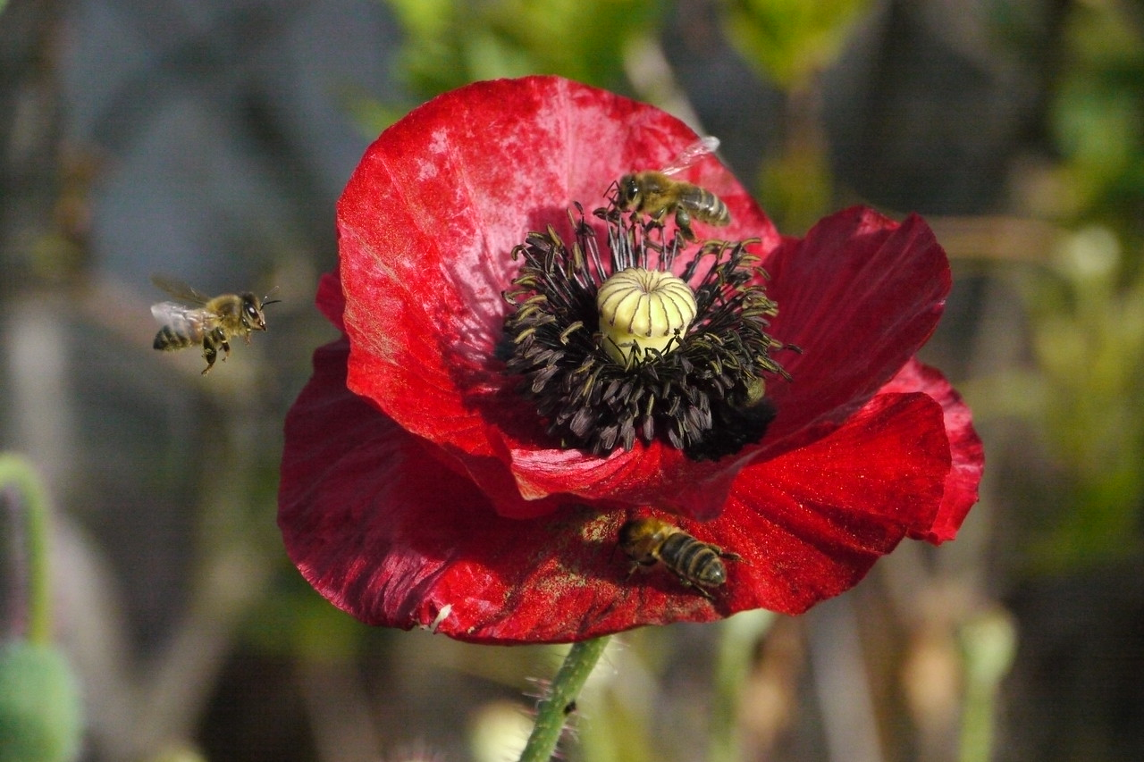 20131110_0746_2734 bees and poppy