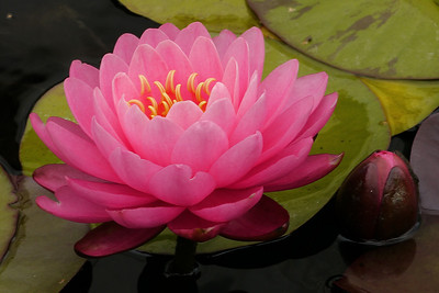 20130109_1402_7018 water lily