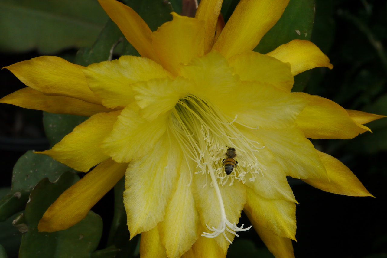 20121207_0833_6620 bee and epiphyllum