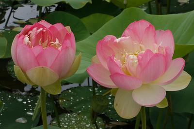 20130109_1022_6834 lotus