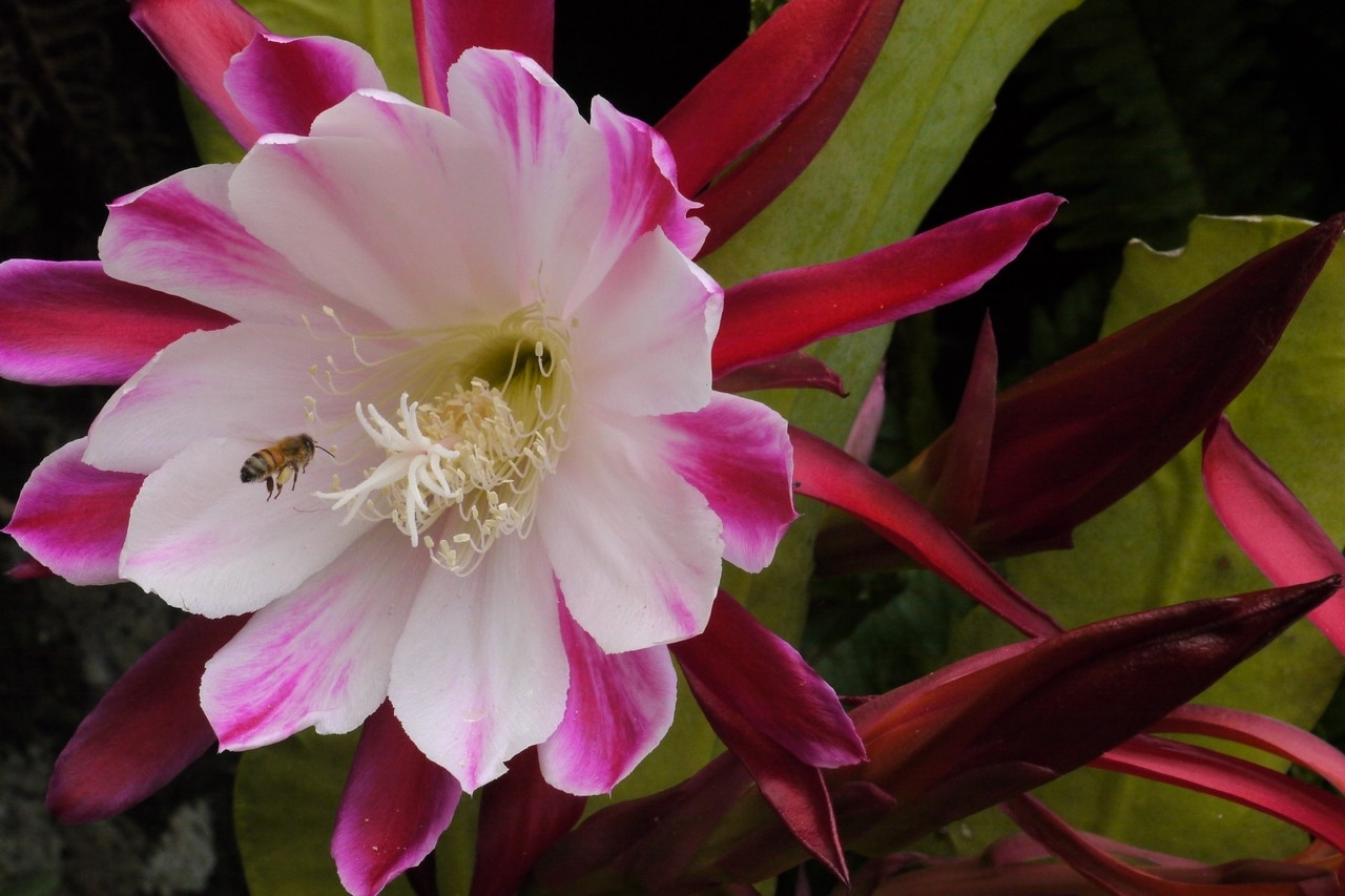 20121204_0908_6425 bee and epiphyllum