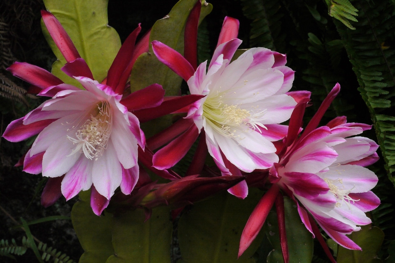 20121205_0645_6507 epiphyllum