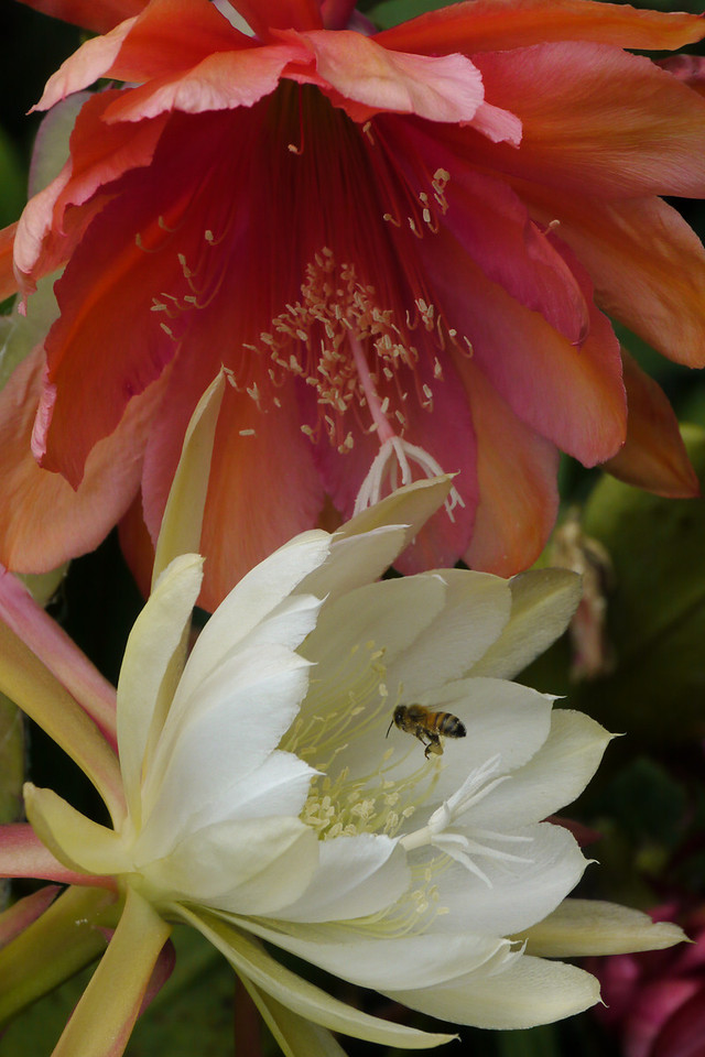 20121203_1145_6387 bee and epiphyllum