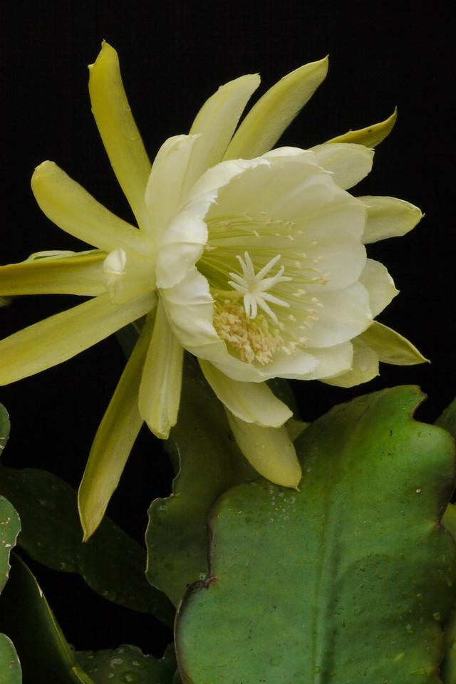 20121201_0741_6064 epiphyllum