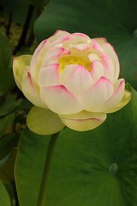 20130109_1416_7035 lotus