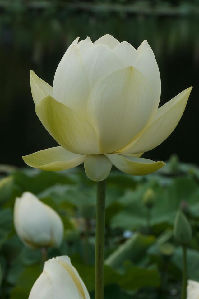 20130109_1123_6876 lotus