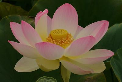 20130109_1307_6981 lotus
