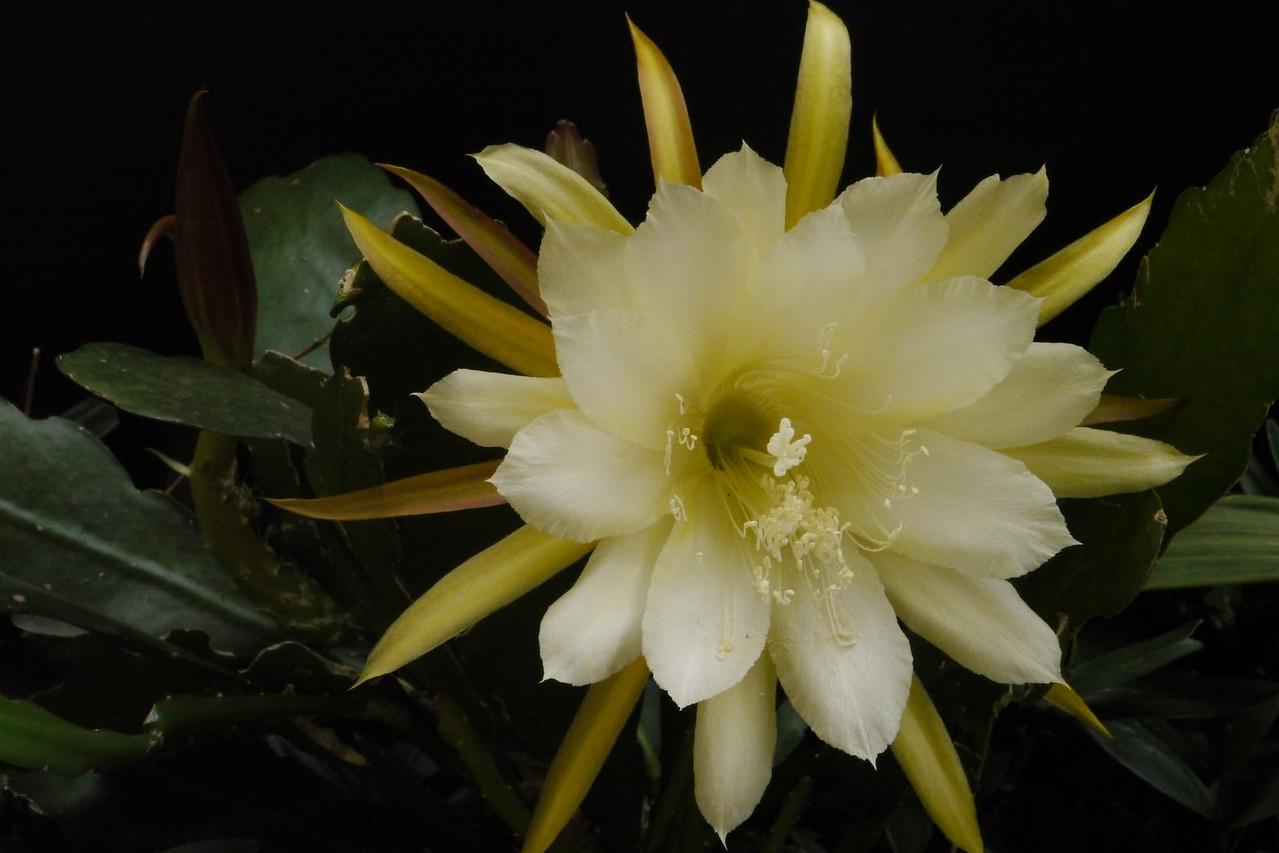20121202_0812_6227 epiphyllum