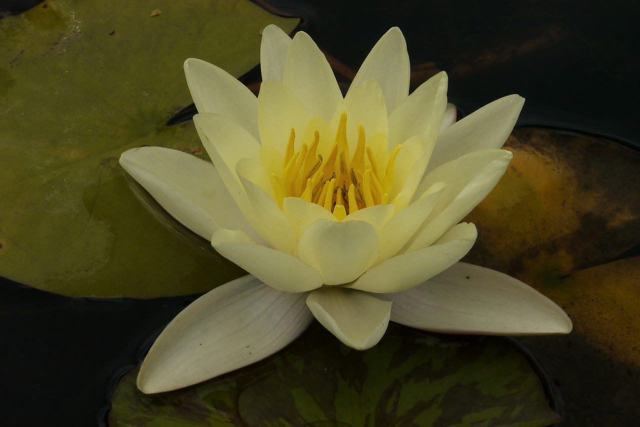 20130109_1355_7007 water lily