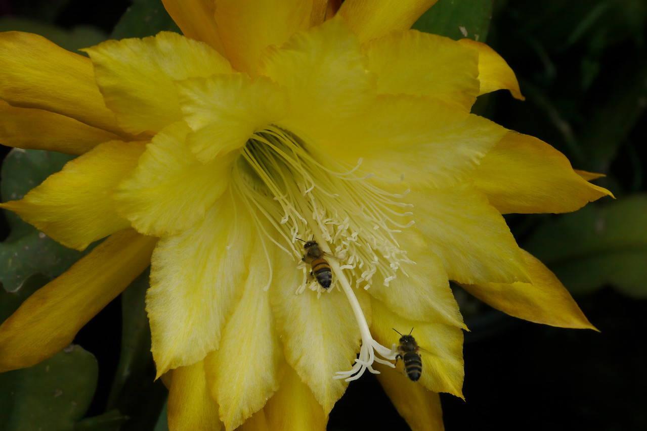 20121207_0747_6578 bees and epiphyllum