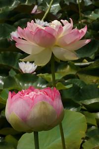 20130109_1241_6945 lotus