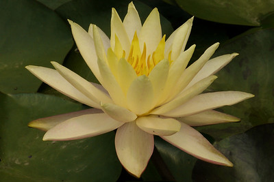 20130109_1416_7037 water lily