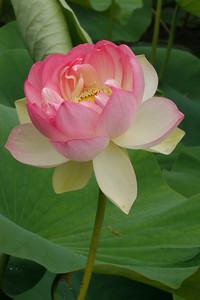 20130109_1031_6840 lotus