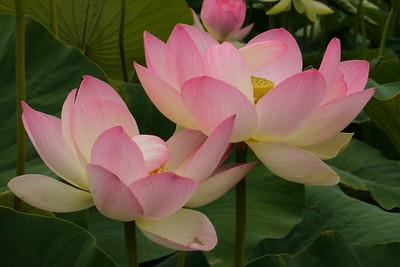 20130109_1302_6971 lotus