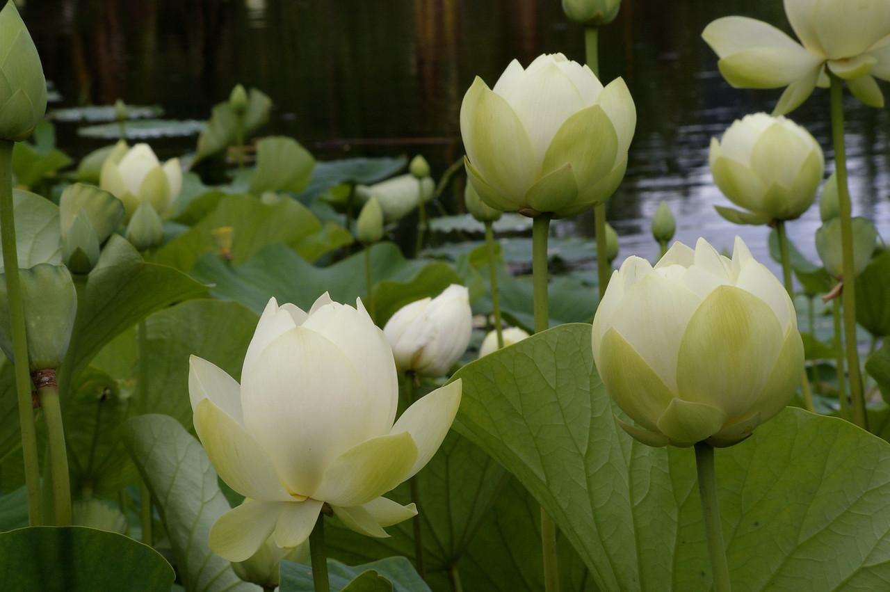 20130109_1121_0077 lotus