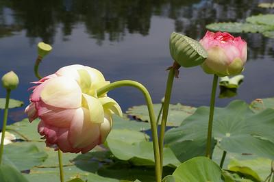 20130109_1249_0137 lotus
