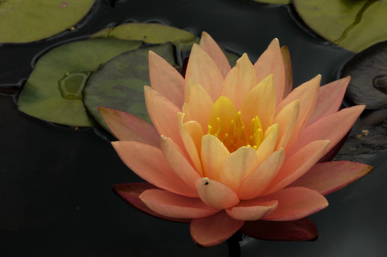 20130109_1356_7009 water lily