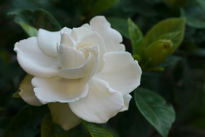 20121218_0607_6673 camellia