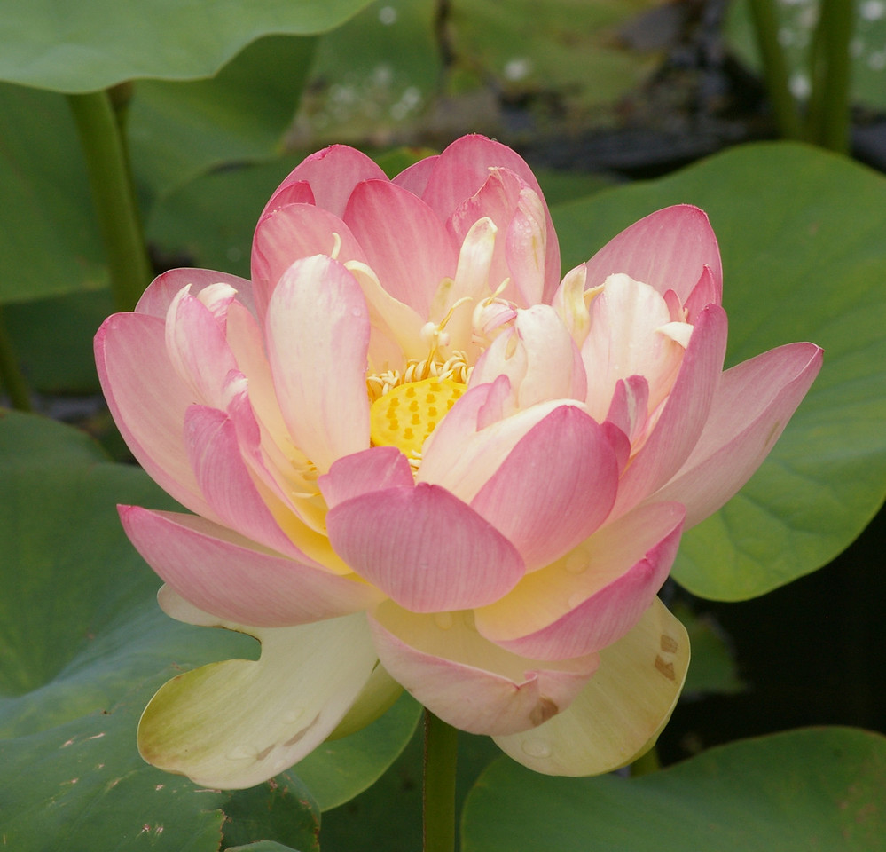 20130109_1127_0080 lotus