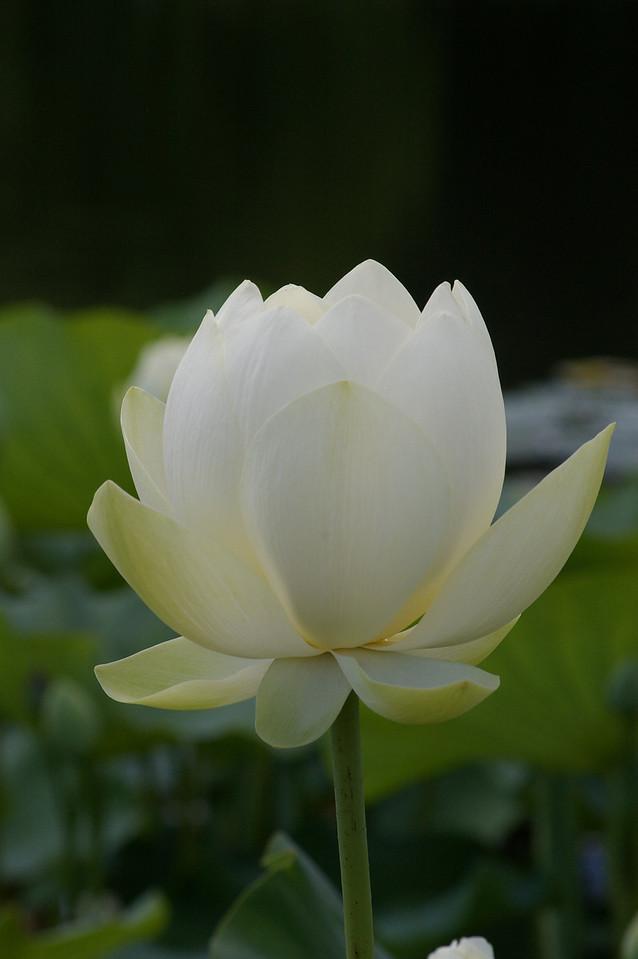 20130109_1227_0109 lotus