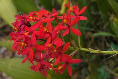 20130128_0923_7080 crucifix orchid