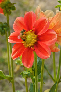 20130221_0954_7252 dahlia and bee