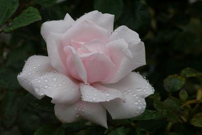 20130203_0807_7110 rose
