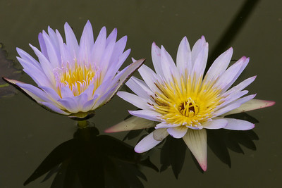 20130109_1216_6913 water lily