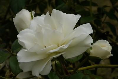 20130219_0923_7232 rose