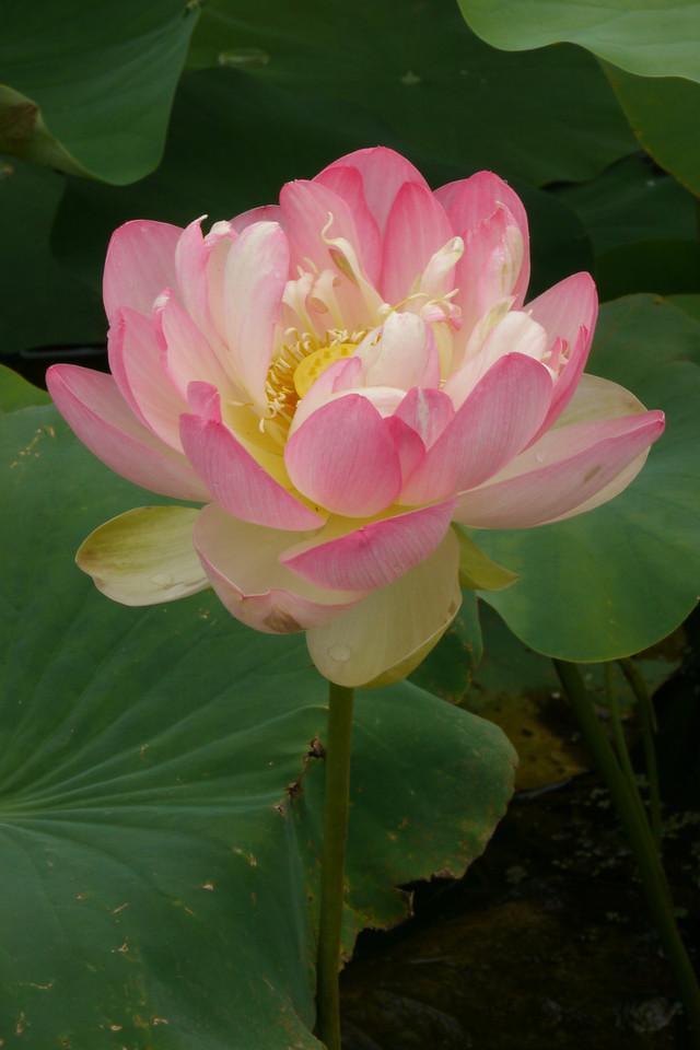 20130109_1021_6831 lotus
