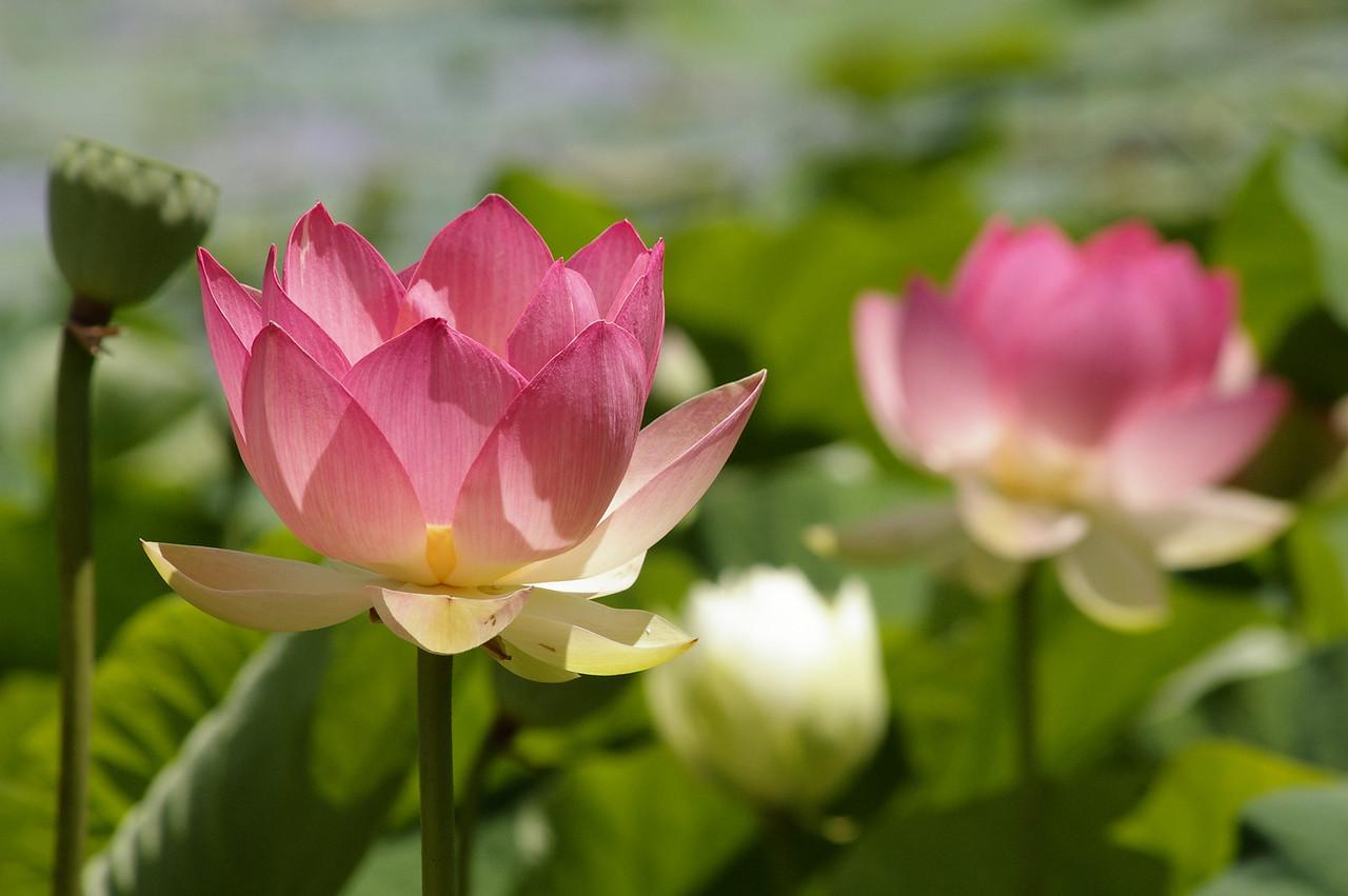 20130109_1235_0112 lotus