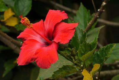 20130219_0912_7221 hibiscus