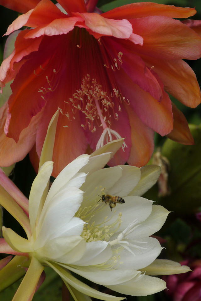 20121203_1145_6385 bee and epiphyllum