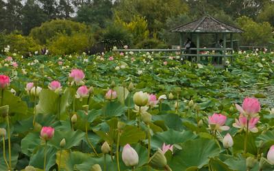 20130109_1258_6967 lotus