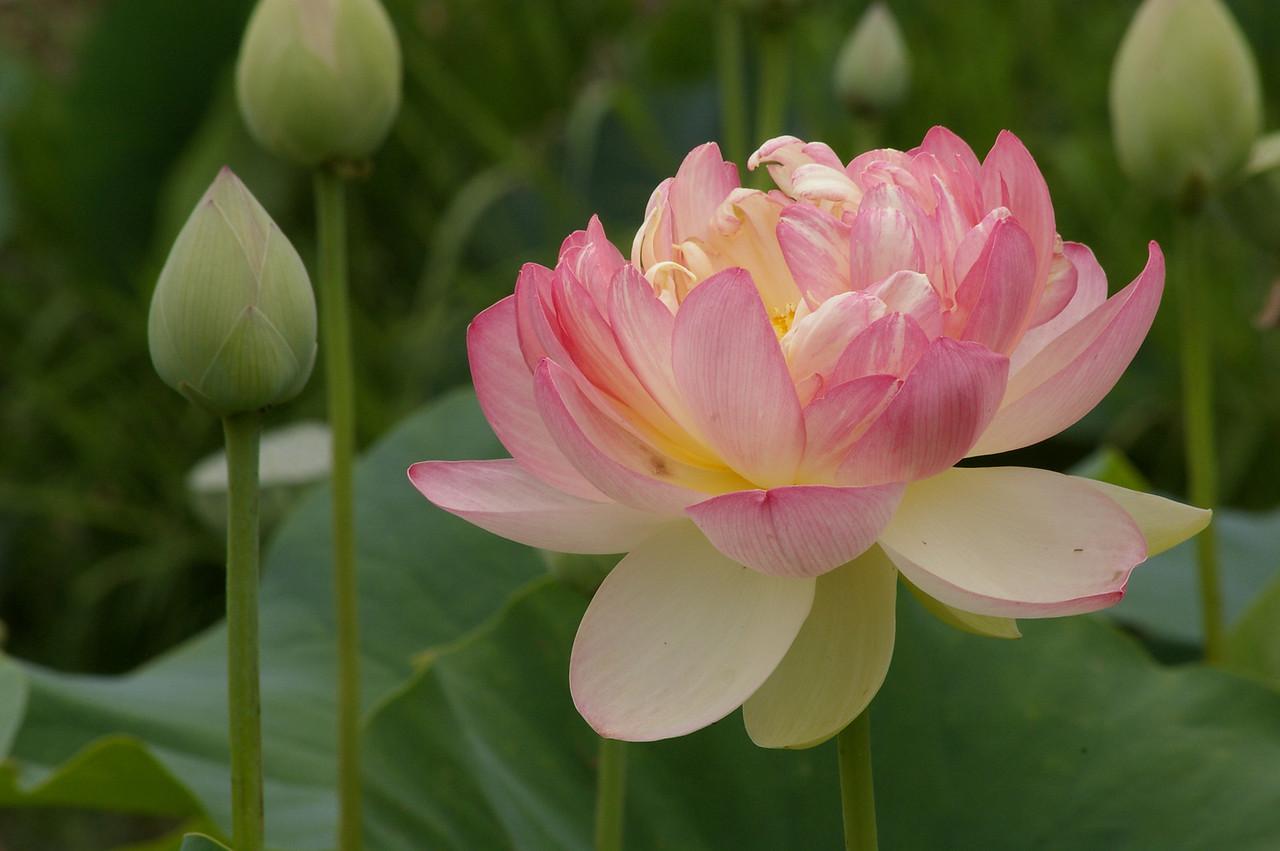 20130109_1455_0147 lotus
