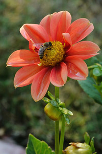20130216_0858_7205 dahlia and bee