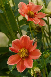 20130227_0916_7288 dahlia and bee