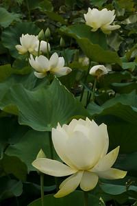 20130109_1255_6964 lotus