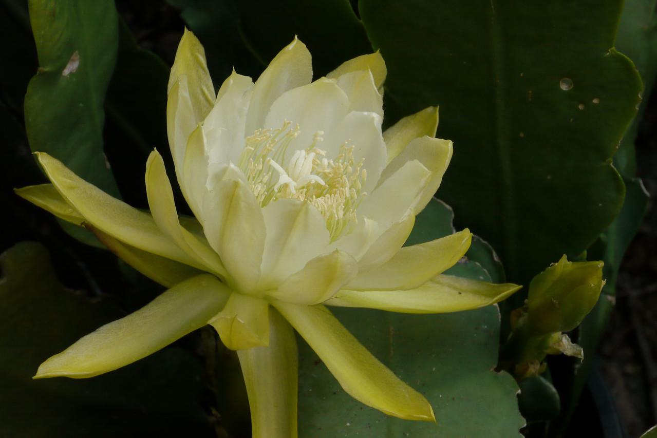 20121204_0646_6409 epiphyllum