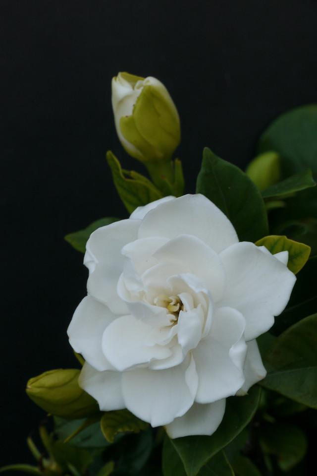 20130101_1649_6790 gardenia