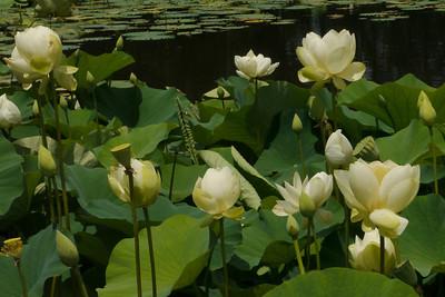 20130109_1256_6965 lotus