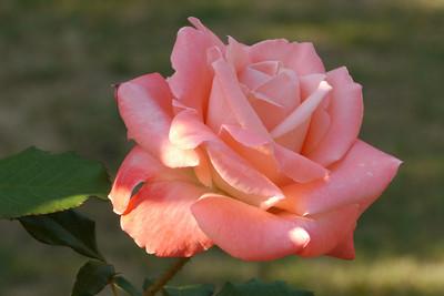 20130212_0810_7130 rose
