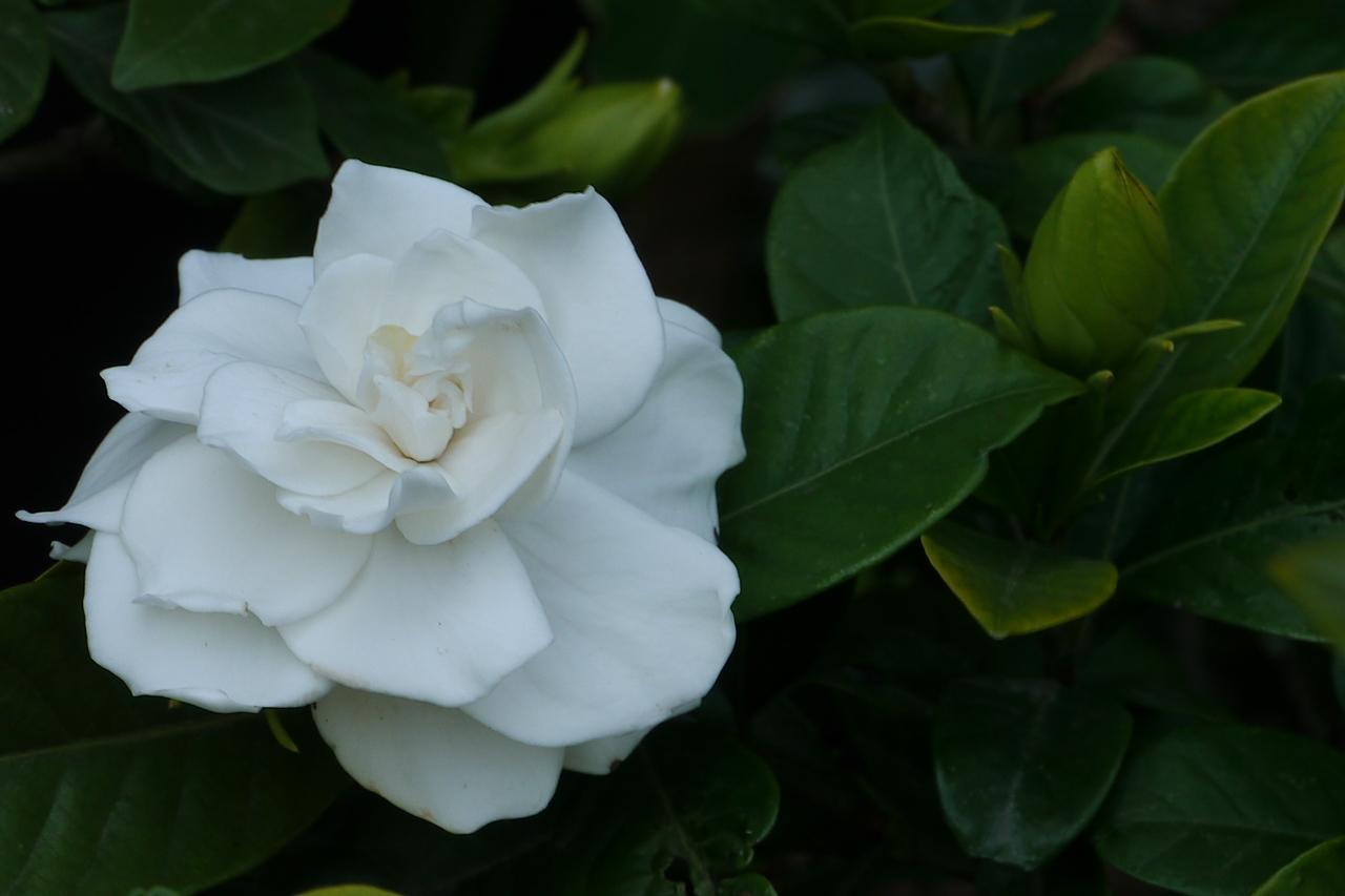 20130101_1655_6796 gardenia