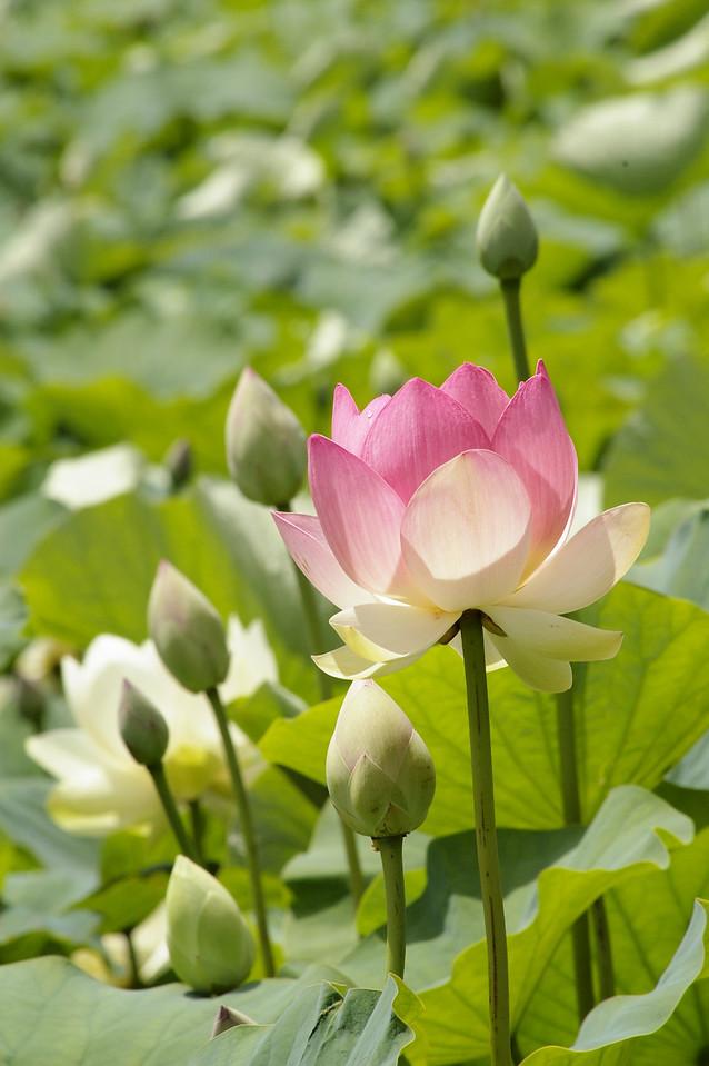 20130109_1219_0099 lotus