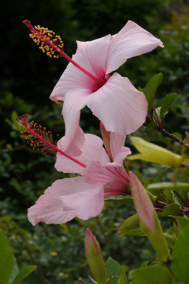 20130227_0900_7271 hibiscus