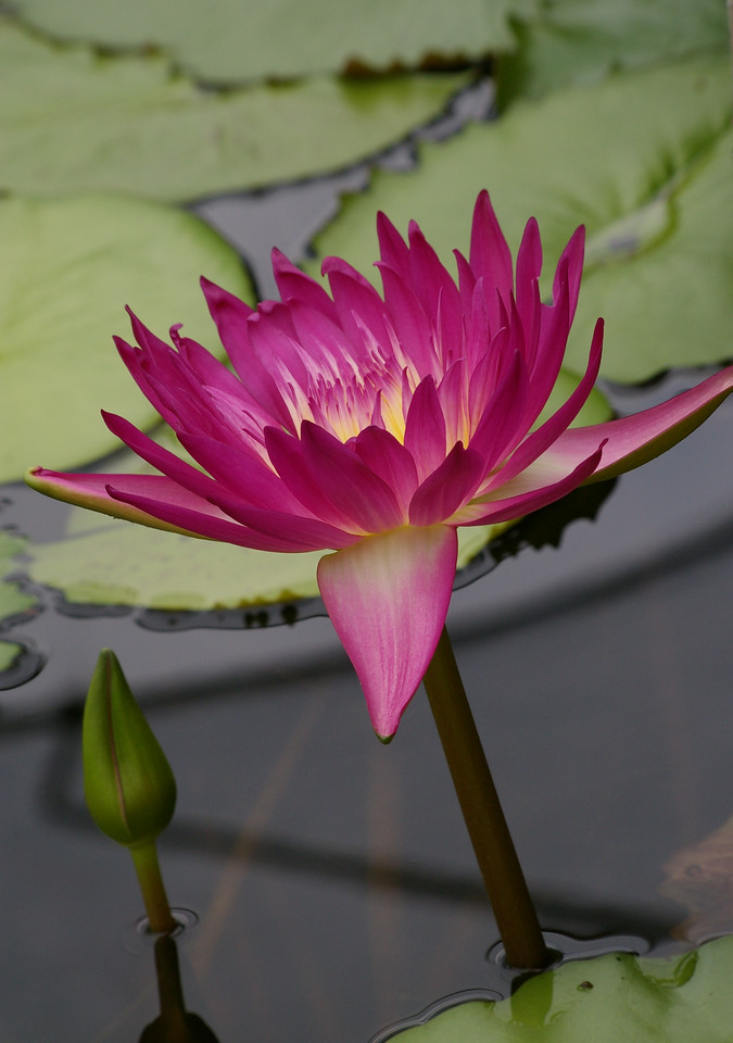 20130109_0825_0079 water lily